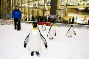 Dubai, Jan 30th, 2012 -- A colony of snow penguins from Sea World in San Antonio will move into Ski Dubai in Mall of Emirates starting in February 2012. Visitors to ÔSnow Penguins at Ski Dubai´ will get a chance to get up close and personal with the birds and learn about them. Photo by: Sarah Dea/ The National